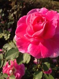 Rose Petal Droplet